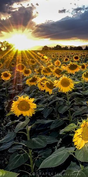 Sunflower Sunset times 2